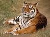 Réserve tropicale : Des tigres sauvages