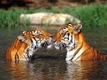 Tiges Lindos - Tigre Mâle (5 ans)