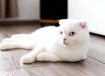 Un Scottish Fold blanc aux yeux bleus allongé sur le sol