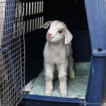 Lou - Chèvre (7 mois)