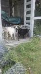 Les chèvres - Chèvre