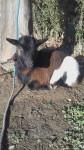 Nina - Chèvre (2 ans)