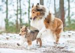 Une maman Colley et son petit jouent dans la neige