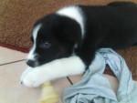 Furet Timmy - Femelle (3 mois)