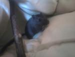 Gerbille gerboule - Femelle (1 an)