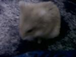 Hamster Conchita - Femelle (1 an)