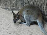 Kangourou kangourou - Femelle (0 mois)