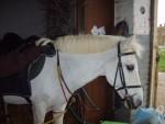 Poney Mon dartoune(dartagnan) - Femelle (0 mois)