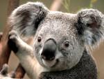 koala - Poney (2 mois)