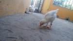 Pollo y Pollito - Poulet Mâle