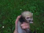 Souris Bébé furet - Femelle (Vient de naître)